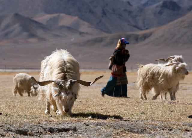 cabra cachemir en las montañas mongolas