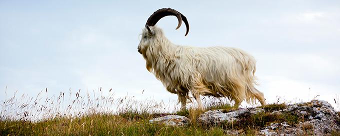 cabra lanuda cashmere en la montaña