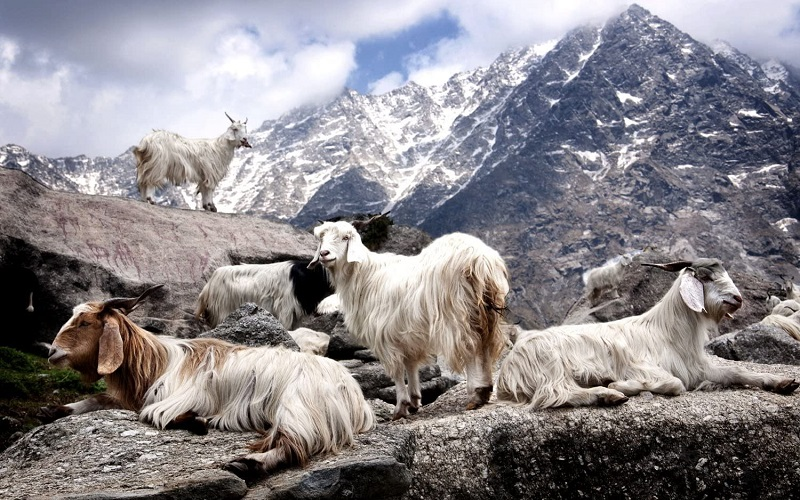 cabras de cachemire en la montaña